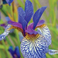 Essa beleza é a Iris Siberiana. Confira!