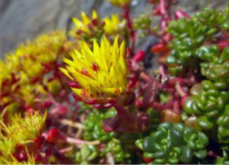 Com suas lindas flores e folhas verdes que ficam cor de bronze no inverno a Sedum Oreganum é mais um espetáculo do mundo das suculentas.