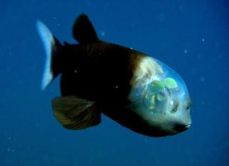 Eles vivem em profundidades de 2.000 a 2.600 pés e só foi fotografado em 2004. Ainda bem, porque é encantador!