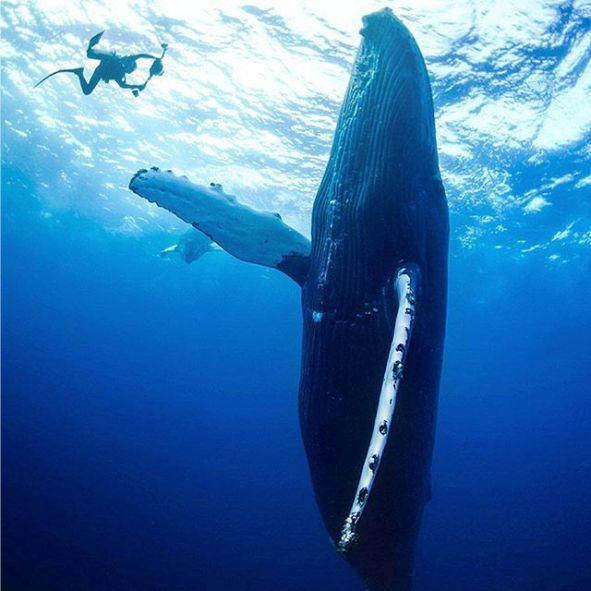 revilagigedo baleia