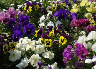 Flores que adoram o frio...  Uma das mais conhecidas, o Amor-Perfeito. Confira!