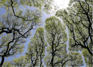 Em algumas espécies de árvores, as copas não se tocam e aí temos mais um show da natureza! Confira!