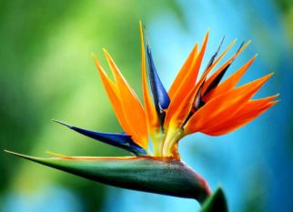 Elas lembram  pássaros coloridos em vôo e não poderiam ter um nome melhor - AVES DO PARAÍSO. Confira!