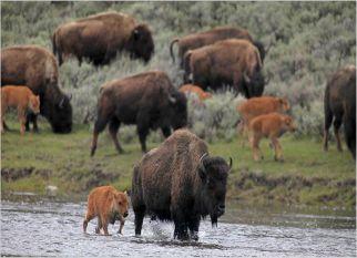 Sobreviventes da Idade do Gelo, os bisões são símbolos de força e determinação.  Confira!