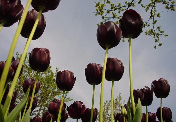 black tulip 3