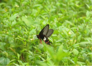 As asas dessa borboleta inspiram pesquisadores e abrem as  portas  para novas tecnologias solares. Confira!