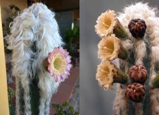 Cactos - Pilosocereus palmeri, nativo do México, Guatemala e Honduras.  É uma espécie difundida em todo o mundo. Confira!