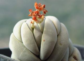 Crassula alstonii. É encontrada na natureza, nas planícias costeiras da África do Sul, Lesoto e Suazilândia. Confira!