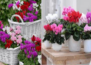 Flores que adoram o frio! A beleza e as cores dos Cyclamens. Confira!