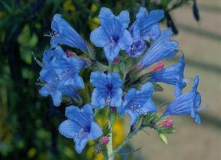 """Minha vó diria que é uma """"belezura"""". E é mesmo! O nome dela é Echium gentianoides. Confira!"""