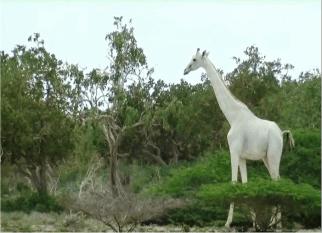 Olha que maravilha essa linda girafa branca filmada no Kenia. Confira!