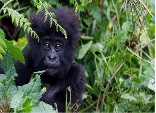 Um censo recente revelou que a  população de gorilas de montanha nas montanhas de Virunga, na África, está crescendo, apesar ....  Confira!