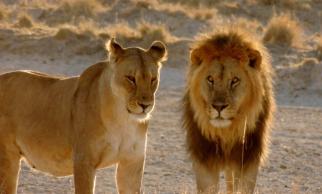 Uma população desconhecida de leões africanos foi  recém  descoberta no noroeste da Etiópia ..