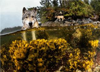 Eles podem nadar por horas e se alimentam de futos do mar.  São os lobos do mar! Confira!