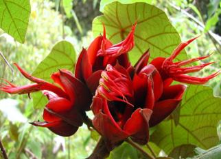 Nativas da Guatemala e Sul do México, essas flores são impressionantes! Confira!