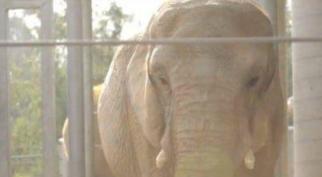 """Por quase 40 anos, esse elefante - """"Mila"""" viveu em cativeiro num circo da Nova Zelândia, sem nunca ter visto outros da sua espécie, mas essa história não história não termina tão mal assim! Confira!"""