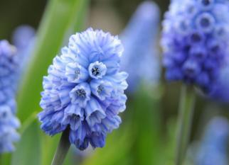 O nome dela é Muscari Azureum. Além de lindas, tem um perfume delicioso! Confira!