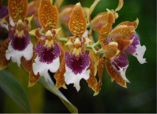 Flores perfumadas e  como sempre com um nome complicado - Odontoglossum harryanum. Confira!