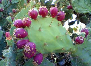 Pear Cactus - as comunidades mexicanas do século 19 já o usavam como um purificador de água e hoje suas propriedades são reconhecidas pela Comunidade científica. Confira!