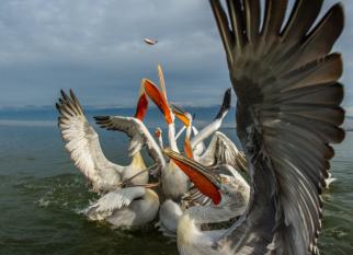 Pelicanos Dálmatas - Além de lindos, eles fazem parte de uma boa história de preservação da espécie. Confira!