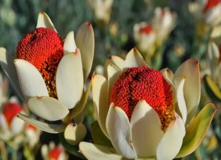 Essa beleza, nativa da África do Sul é a Leucadendron Discolor 'Pom Pom'.  Confira!