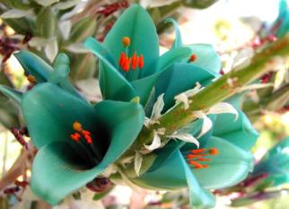Puya turquesa, é uma bromélia terrestre das montanhas do Chile e sul da América Central. Confira!