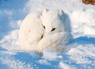 """"""" Raposa do Ártico"""", mais uma linda espécie ameaçada pelas mudanças climáticas . Confira!"""