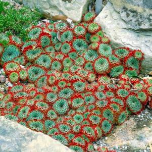 Calcareum Sempervivium Cresce facilmente entre as pedras e são nativas dos Alpes franceses. Confira!