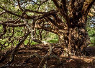 Os teixos ameaçados de extinção, ainda são encontrados na antiga floresta na reserva de Kingley Vale na Inglaterra, Confira!