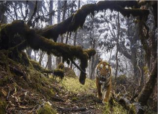 Um espetáculo! O tigre raro fotografado em uma floresta montanhosa no Butão (Ásia). Confira!