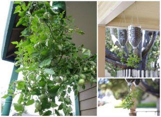 Plantando tomates, aproveitando os espaços e as garrafas pets.  Confira!