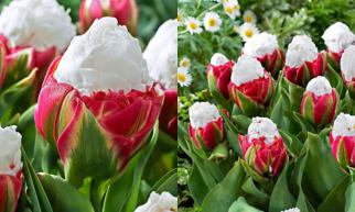"""Não poderia ter um nome melhor ... Tulipa """"Ice Cream"""" Confira!"""