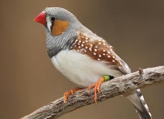 A Austrália é o lar de cerca de 830 espécies de aves. Cerca de 45% são endêmicas, e só lá podemos encontrá-las. Um show, confira...