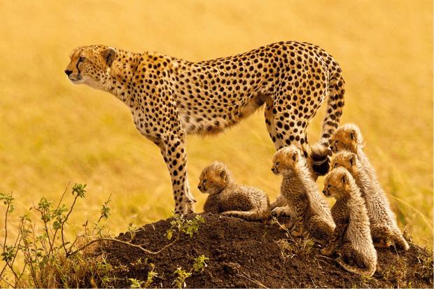 Chitas. De acordo com as estimativas existem apenas 7 mil chitas na África selvagem. (Foto: Stephen W. Oachs)