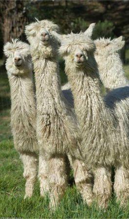 australia alpaca