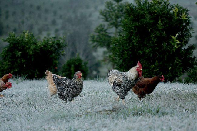 galinhasite